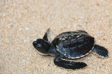 Bild mit Wasser,Gewässer,Strände,Reptilien,Strand,Meer,Schildkröte,Schildkröten,baby turtle,Babyschildkröte