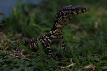 Bild mit Tiere,Natur,Reptilien,Tier,Tierisches,Tierwelt,Reptil,Waran,Warane,Zunge