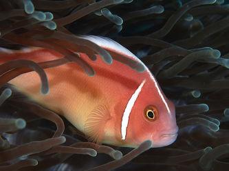Anemonenfisch III