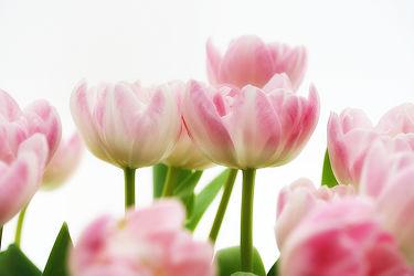 Bild mit Blumen, Blume, Tulpe, Tulpen, Blüten, blüte