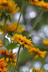 Bild mit Natur, Pflanzen, Blumen, Sommer, Blume, Blüten, garten, blüte, Sommergarten, gelbe blüten