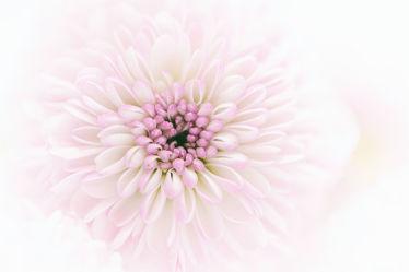 Bild mit Blumen, Astern, Blume, Blüten, chrysanthemen, blüte, Blütenblätter, sommerastern