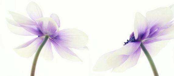 Bild mit Pflanzen, Blumen, Lila, Blume, Pflanze, romantik, Blüten, anemonen, blüte, Glück, anemone