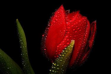Bild mit Blumen, Blume, Tulpe, Tulpen, rote Tulpe, rote Tulpen, Wassertropfen, Regentropfen, Tropfen, Blüten, blüte