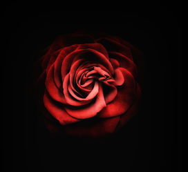 Bild mit Pflanzen,Blumen,Rosen,Blume,Pflanze,Rose