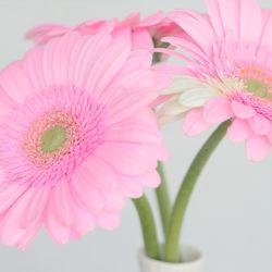 Bild mit Blumen, Rosa, Gerberas, Blume, Gerbera, Blüten, blüte, gerberablüten