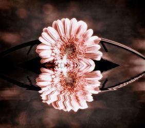 Bild mit Pflanzen, Blumen, Gerberas, Blume, Gerbera, Blüten, sepia, gerberablüten