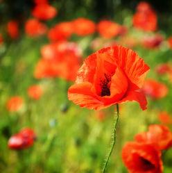 Bild mit Blumen, Mohn, Blume, Mohnblume, Mohnfeld, Wiese, Feld, Felder, Mohnblumen, Wiesen, Weide, Weiden