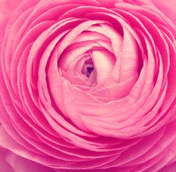 Bild mit Blumen, Sommer, Blume, Blüten, garten, blüte, Ranunkel, Gartenzeit, rosa Blüten, rosa Blume, rosa Blumen, Blumenzeit