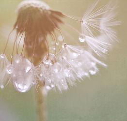 Bild mit Blumen, Blume, Wassertropfen, Regentropfen, Löwenzahn, Pusteblume, Tropfen, Blüten, Pusteblumen, Samen
