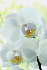 Bild mit Pflanzen, Blumen, Orchideen, Blume, Orchidee, Blüten, blüte