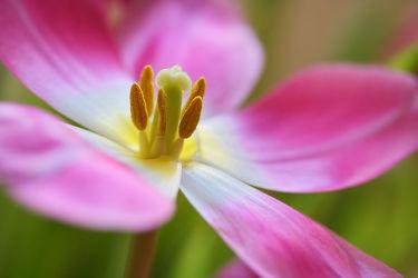 Bild mit Blumen, Blume, Tulpe, Tulpen, Blüten, blüte, Blütenblätter