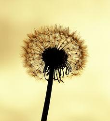 Bild mit Natur, Blumen, Sonnenuntergang, Blume, Löwenzahn, Pusteblume, Pusteblumen