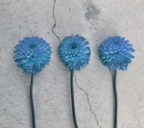 Bild mit Blumen, Blau, Astern, Blume, Blüten, blüte, sommerastern