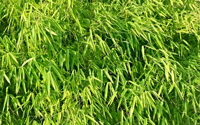 Bild mit Natur, Bambus, bambuswald, bambuspflanze, Bambusblatt, Bambusblätter