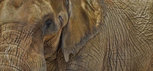 Bild mit Tiere, Tier, Lebewesen, Elefant, Elefanten, Afrika, Tierwelt
