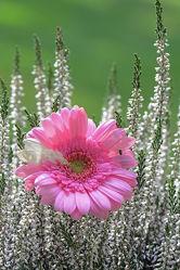 Bild mit Blumen,Gerbera