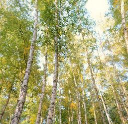 Bild mit Natur, Birken, Baum, Birke