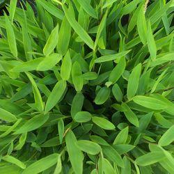 Bild mit Natur, Gräser, Landschaften, Sonne, Bambus, Landschaft, Gras, Wiese, Feld, Felder, Wiesen, Bambusblatt, Bambusblätter