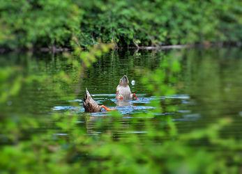 Bild mit Tiere, Entenvögel, Enten, Wald, Tier, Ente, See, Teich, Tierwelt, witzig