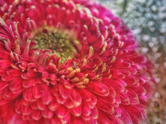 Bild mit Blumen, Gerberas, Blume, Gerbera, Blumen und Blüten, Blüten, blüte, gerberablüten