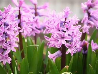 Bild mit Blumen, Sommer, Blume, Blüten, garten, blüte, Blumenblüten, Gartenzeit, lila Blume, lila Blüten, Blütezeit