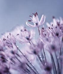 Bild mit Natur, Lila, Blume, Makro, Nature, Tropfen, Floral, Flora, Blumenbild, pearls, puple