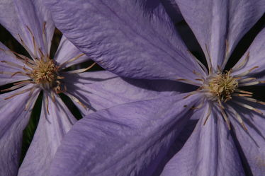 Bild mit Pflanzen, Blumen, Lila, Blume, Pflanze, Nature, Blüten, Natur Kunst Bilder, Clematis, Blütenblätter, violet
