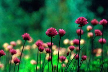 Bild mit Grün,Pflanzen,Blumen,Rosa,Violett,Kräuter,Nutzpflanzen,Blume,Pflanze,Plant,Food,Planten und Blomen,Landscape & Nature,garten,Schnittlauch,garden,health,allium