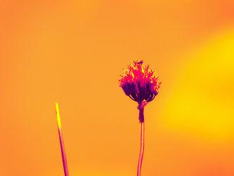 Bild mit Gelb, Essen, Blumen, Rot, Kräuter, Hintergrund, Licht, Abstrakt, Food, garten, Schnittlauch, allium