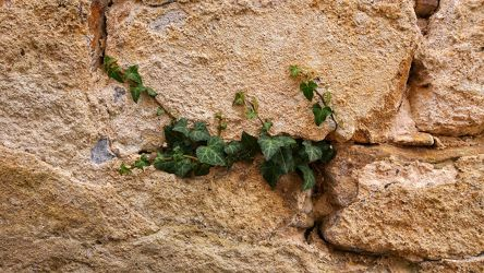 Bild mit Natur, Mauer, garten, Wall, historic, sandstein, ivy, efeu