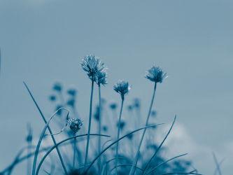 Bild mit Natur, Pflanzen, Blau, Landschaft, Plant, Abstrakt, blue, garten, Schnittlauch, allium