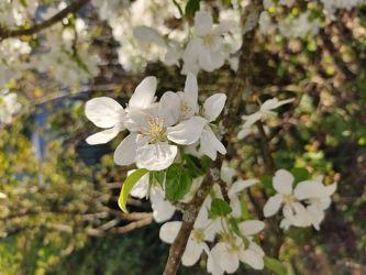 Bild mit Weiß, Sonne, Apfelbaum, Landschaft, Wiese, Apfel, landscape, garten, blüte, Apfelblüte, frühjahr, Bauerngärten, blühen, hausbaum, appletree