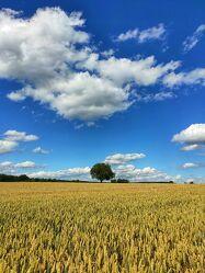 Bild mit Himmel, Sommer, Sonne, Baum, Wolkenhimmel, Landschaft, Weizen