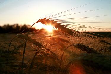 Getreide Feld I