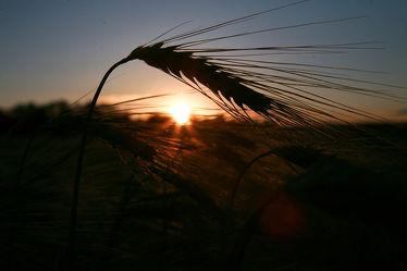 Getreide Feld II