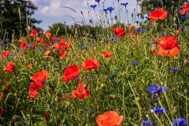 Bild mit Natur, Grün, Gräser, Sommer, Landschaft, Wiese, Licht, Mohnblumen, Schatten, Kornblumen