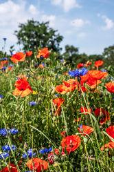 Bild mit Natur, Grün, Gräser, Jahreszeiten, Rot, Blau, Sommer, Kräuter, Kräuter, Landschaft, Klatschmohn, Wiese, Licht, Feld, Land, Schatten, Kornblumen, Gewächse, Mohn. Mohnblumen, wirtschaft