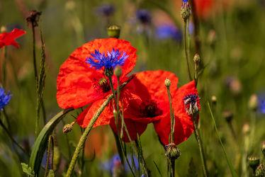 Bild mit Gräser, Jahreszeiten, Blumen, Rot, Blau, Sommer, Landschaft, Wiese, Blüten, Mohnblumen, Kornblumen