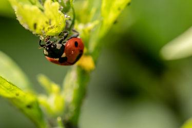 Bild mit Natur, Insekten, Marienkäfer, landwirtschaft, Coccinellidae, Käfer, Punkte, halbkugelig, flugfähig, Deckflügel, Gartenbau, Pflanzenläuse, Spinnmilben, Fühler, Nützlinge, Kleinlebewesen