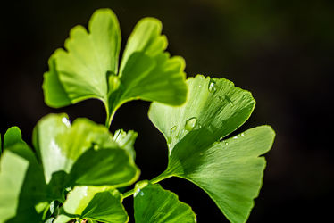 Bild mit Natur, Grün, Jahreszeiten, Sommer, Sonne, Pflanze, Makro, Licht, Wassertropfen, Spiegelungen, garten, nahaufnahme, ginko, Schatten, Reflexionen