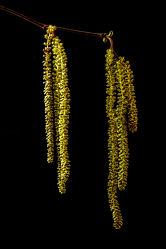 Bild mit Natur, Jahreszeiten, Frühling, Baum, Makro, Strauch, Blüten, Pollen, Freigestellt, Triebe, Haselnussstrauch, Haselnuss