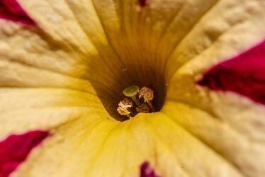 Bild mit Farben, Gelb, Natur, Rot, Makroaufnahme, Blume, Licht, garten, blüte, nahaufnahme, Pollen, Schatten, Outdoor, Petunie, Farbenpracht, Blütenkelch, Stempel