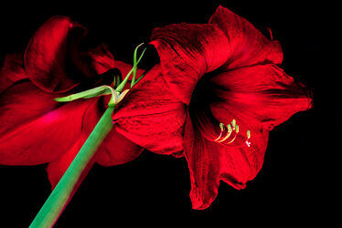 Bild mit Natur, Pflanzen, Rot, Blume, Makro, Licht, blüte, nahaufnahme, Details, Schatten, Amaryllis, Blütenstempel