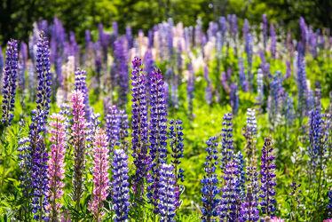 Bild mit Natur, Pflanzen, Landschaften, Blumen, Lila, Violett, Sommer, Wiese, Feld, Blüten, Wachstum, Ackerbau, Chile, Südamerika, Blütenstand, lupinen