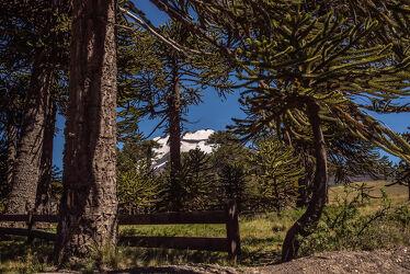Bild mit Natur, Bäume, Nadelbäume, Wald, Landschaft, Licht, Schatten, Wachstum, Vulkan, Chile, Araukarien, Malalcahuello, Lonquimay, Baumriesen