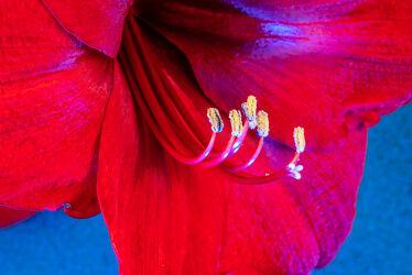 Bild mit Natur, Rot, Blau, Blätter, Blume, Makro, Licht, Blumen und Pflanzen, zimmerpflanzen, blüte, nahaufnahme, Amaryllis, Beleuchtung