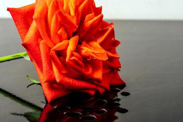 Bild mit Natur, Rosa, Blätter, Pflanze, Rose, Makro, Licht, Tropfen, Spiegelungen, blüte, nahaufnahme, Schatten, Reflexionen, lachsfarben