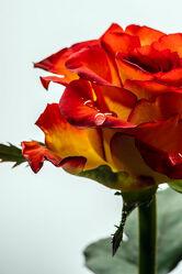 Bild mit Orange, Natur, Rot, Blume, Pflanze, Rose, Makro, Gegenlicht, Licht, Regentropfen, Tropfen, detailaufnahme, nahaufnahme, farbig, Tau, Schatten, Kunstvoll, Zweifarbig, durchleuchtet, Hintergrundbeleuchtung