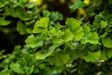 Bild mit Natur, Pflanzen, Sommer, Sonne, Baum, Blätter, Park, garten, ginkgo